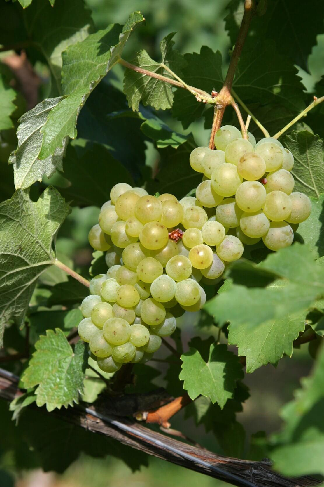 English Bacchus grapes