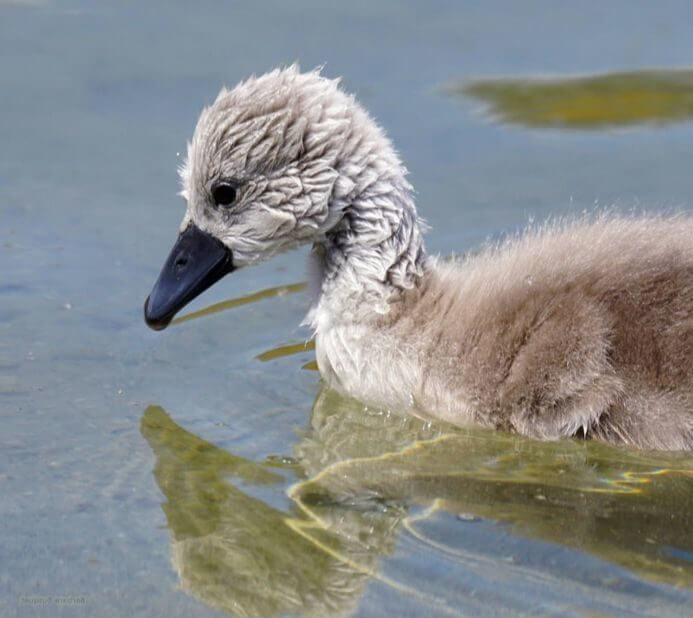 Ugly duckling photo