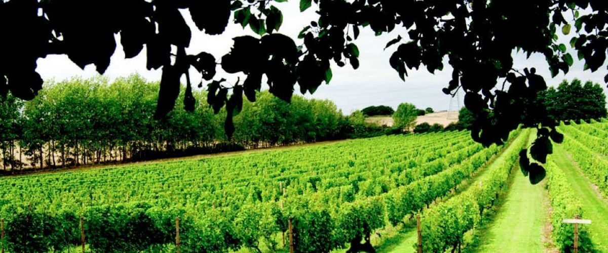 English vineyard in summer